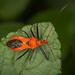 Gminatus australis - Photo (c) Lyn Craggs, μερικά δικαιώματα διατηρούνται (CC BY-NC)