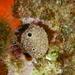Ircinia variabilis - Photo (c) Chris Taklis, μερικά δικαιώματα διατηρούνται (CC BY)