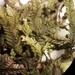 Dinckleria fruticella - Photo (c) Leon Perrie, μερικά δικαιώματα διατηρούνται (CC BY)