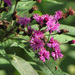 Vernonia gigantea - Photo (c) BlueRidgeKitties, algunos derechos reservados (CC BY-NC-SA)
