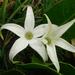 Jaborosa integrifolia - Photo (c) Nicolas Olejnik, μερικά δικαιώματα διατηρούνται (CC BY-NC)
