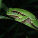 Hyla molleri - Photo (c) David Perez,  זכויות יוצרים חלקיות (CC BY)