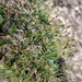 Carex firma - Photo (c) Wolfgang Jauch, μερικά δικαιώματα διατηρούνται (CC BY-SA)
