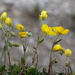 Helianthemum alpestre - Photo (c) Wolfgang Jauch, μερικά δικαιώματα διατηρούνται (CC BY-SA)