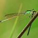 Ischnura senegalensis - Photo (c) Green Baron Pro, algunos derechos reservados (CC BY-NC-ND)