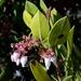 Arctostaphylos montereyensis - Photo (c) dgreenberger, algunos derechos reservados (CC BY-NC-ND)