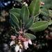Arctostaphylos tomentosa tomentosa - Photo (c) dgreenberger, algunos derechos reservados (CC BY-NC-ND)