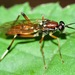 Xylomya pallidifemur - Photo Sem direitos reservados