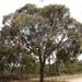 Eucalyptus radiata radiata - Photo (c) Wayne Martin, osa oikeuksista pidätetään (CC BY-NC)