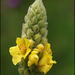 Great Mullein - Photo (c) Steve Chilton, some rights reserved (CC BY-NC-ND)
