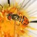 Toxomerus boscii - Photo (c) Judy Gallagher, osa oikeuksista pidätetään (CC BY)