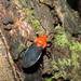Zirta hirticornis - Photo (c) Mayk Oliveira, μερικά δικαιώματα διατηρούνται (CC BY-NC)
