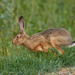 Brown Hare - Photo (c) Mi Strike, some rights reserved (CC BY-NC)