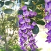 Texas Mountain Laurel - Photo (c) lucio101, some rights reserved (CC BY-NC)