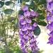 Dermatophyllum secundiflorum - Photo (c) lucio101, alguns direitos reservados (CC BY-NC)