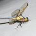Libellula flavida - Photo (c) Royal Tyler, algunos derechos reservados (CC BY-NC-SA)
