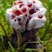 Hydnellum peckii - Photo (c) tombigelow, algunos derechos reservados (CC BY-NC)