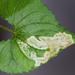 Liriomyza - Photo (c) petranka, algunos derechos reservados (CC BY-NC)