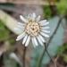 Chaptalia texana - Photo (c) Alison Northup, algunos derechos reservados (CC BY)