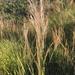 Loudetia simplex - Photo (c) anton-1, algunos derechos reservados (CC BY-NC)