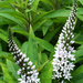 Gooseneck Loosestrife - Photo (c) James Gaither, some rights reserved (CC BY-NC-ND)