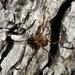 Algidia nigriflava - Photo (c) Dougal Townsend, μερικά δικαιώματα διατηρούνται (CC BY-NC)