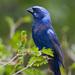 Colorín Azulnegro - Photo (c) Greg Lasley, algunos derechos reservados (CC BY-NC)