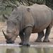 Rinoceronte Blanco - Photo (c) copper, algunos derechos reservados (CC BY-NC)