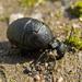 Meloe rugosus - Photo (c) katunchik, algunos derechos reservados (CC BY)