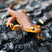 Pacific Newts - Photo (c) nlimon, some rights reserved (CC BY-NC)