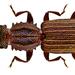 Oryzaephilus surinamensis - Photo (c) Udo Schmidt, algunos derechos reservados (CC BY-SA)