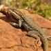 Ctenophorus modestus - Photo (c) Richard D Reams, algunos derechos reservados (CC BY-NC)