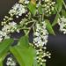 Cerejeira-Negra - Photo (c) Danny Barron, alguns direitos reservados (CC BY-NC-ND)