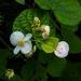 Begonia concanensis - Photo (c) Paulmathi Vinod, algunos derechos reservados (CC BY)