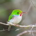 Todus multicolor - Photo (c) Wayne Fidler,  זכויות יוצרים חלקיות (CC BY-NC)