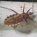 Chinche Vector de Chagas - Photo (c) Eva Hedström, algunos derechos reservados (CC BY-NC)