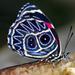 Callicore sorana - Photo (c) Kent Miller, algunos derechos reservados (CC BY-ND)