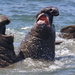 Elephant Seals - Photo (c) Nature Ali, some rights reserved (CC BY-NC-ND)