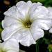 Petunia Blanca Sudamericana - Photo (c) Paul van de Velde, algunos derechos reservados (CC BY)