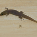 Ashy Gecko - Photo (c) Josh Vandermeulen, some rights reserved (CC BY-NC-ND)