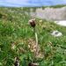 Homogyne alpina - Photo (c) Nicholas Turland, algunos derechos reservados (CC BY-NC-ND)