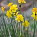 Narcissus assoanus - Photo (c) proteinbiochemist, algunos derechos reservados (CC BY-NC)