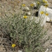 Encelia actoni - Photo (c) Jim Morefield, μερικά δικαιώματα διατηρούνται (CC BY)