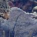 Gorgonia ventalina - Photo (c) julianclark,  זכויות יוצרים חלקיות (CC BY-NC)