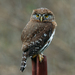 Northern Pygmy-Owl - Photo no rights reserved