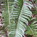 Polystichum imbricans - Photo (c) Evan,  זכויות יוצרים חלקיות (CC BY-NC)