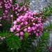 Erica vagans - Photo (c) Kingsbrae Garden, μερικά δικαιώματα διατηρούνται (CC BY-NC-SA)