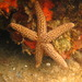 Conical Spined Sea Star - Photo (c) kent_miller, some rights reserved (CC BY-ND), uploaded by Kent Miller