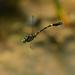 Lamelligomphus hainanensis - Photo (c) Shanghong Wang, some rights reserved (CC BY-NC)