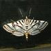 Conchylodes ovulalis - Photo (c) kestrel360, algunos derechos reservados (CC BY-NC-ND)